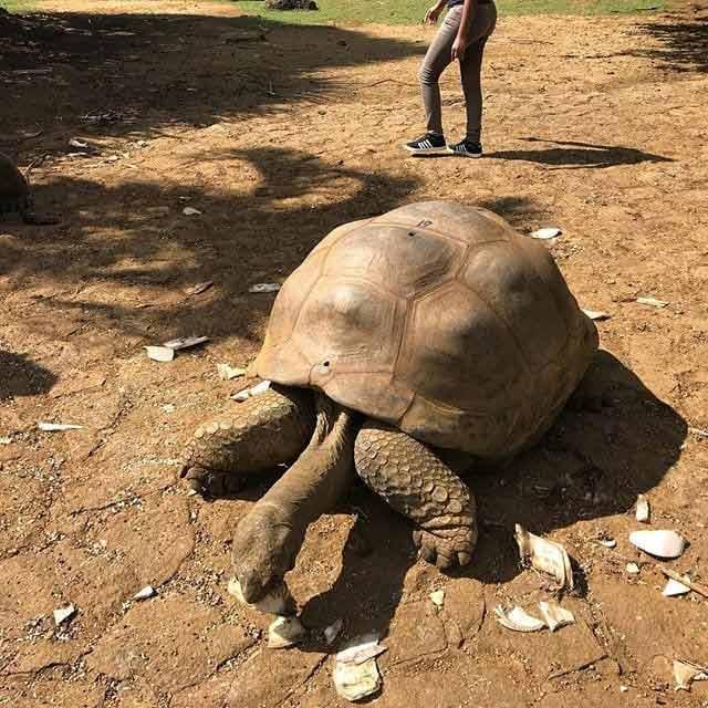 gigantyczne żółwie Mauritius